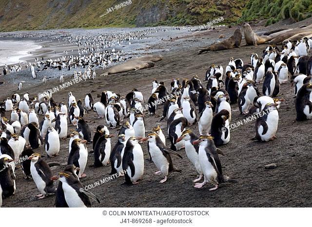Royal penguins and elephant seals, Sandy Bay, Macquarie Island, Australia