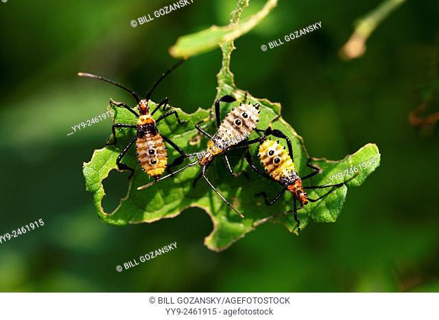 Leaf-footed Bug Nymphs (Leptoglossus phyllopus) - Camp Lula Sams - Brownsville, Texas, USA