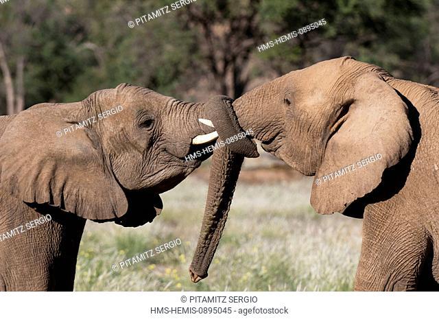 Namibia, Damaraland, Torra Conservancy, Huab River Valley, Desert elephants (Loxodonta africana)