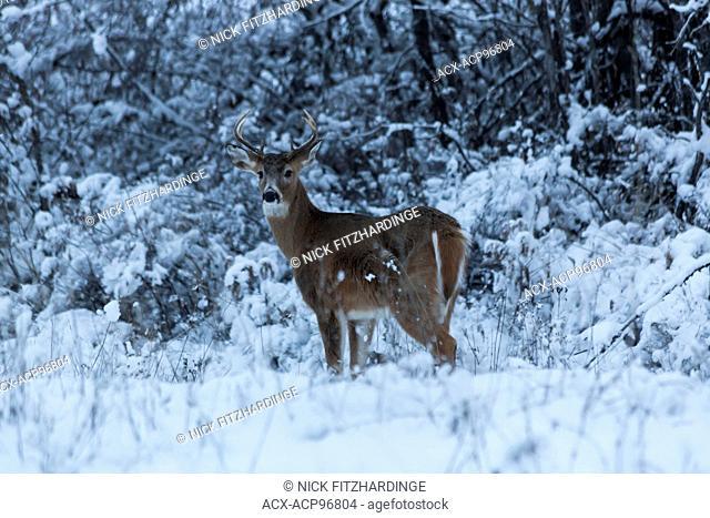 White tailed deer, {Odocoileus virginianus), in winter, British Columbia, Canada