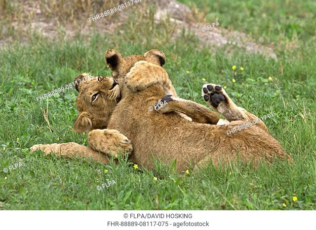 Young African Lion cubs play fight