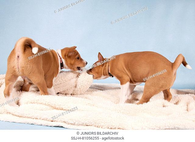 Basenji. Two puppies (7 weeks old) playing with a plush blanket. Studio picture against a blue background. Germany