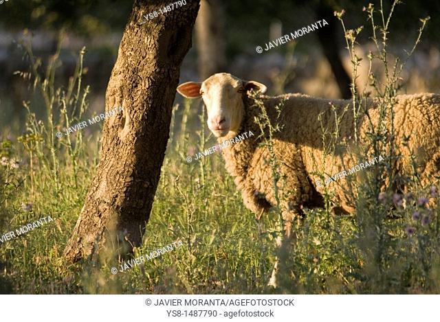 Spain, Mallorca, Sheep looking