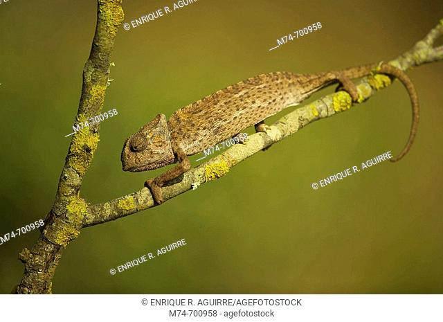 European Chamaleon (Chamaeleo chamaeleon) on a tree branch. Andalucia, Spain