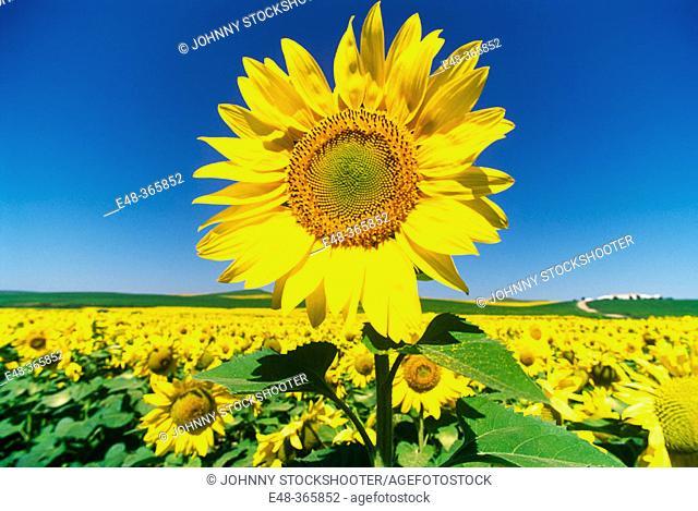 Sunflowers. Córdoba. Spain