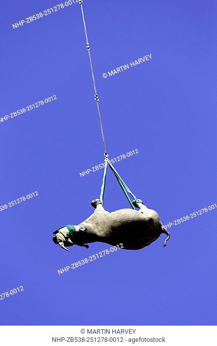 Black Rhinoceros(Diceros bicornis) being transported by helicopter to a safe location.Ithala game reserve.South Africa