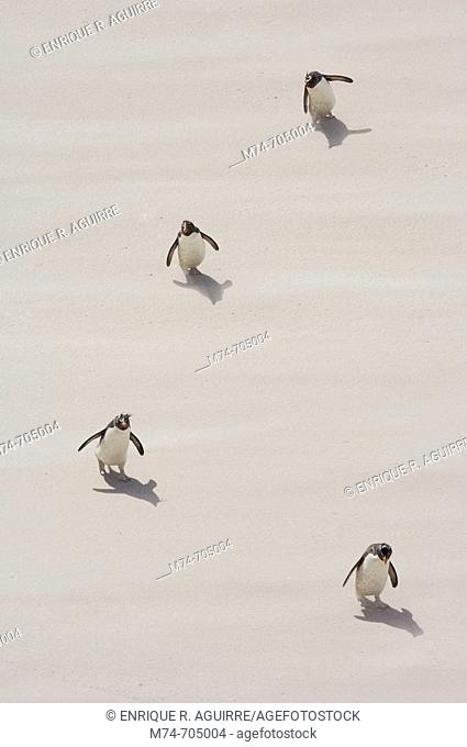 Rockhopper penguin Eudyptes chrysocome arriving to the beach, Falkland Islands, South Atlantic Ocean