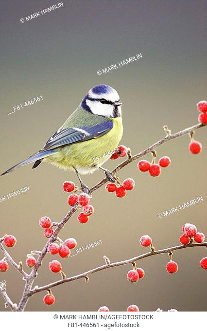 Blue Tit (Parus caeruleus) perched on red cotoneaster berries in frost. Scotland