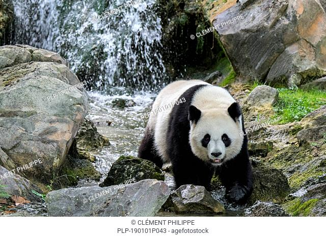 Giant panda (Ailuropoda melanoleuca) foraging in front of waterfall