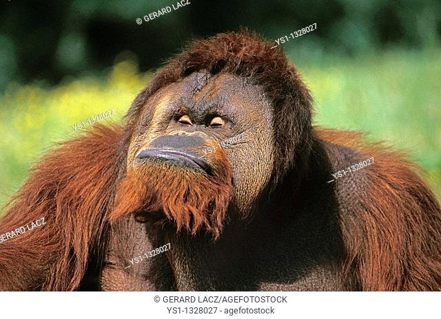 ORANG UTAN pongo pygmaeus, MALE GRIMACING