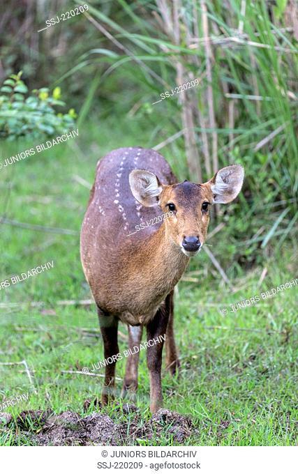 Hog Deer (Axis porcinus, Cervus porcinus), hind fontal Kaziranga-Nationalpark, Assam
