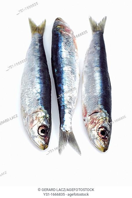 Sardine, sardina pilchardus, Fresh Fishes against White Background