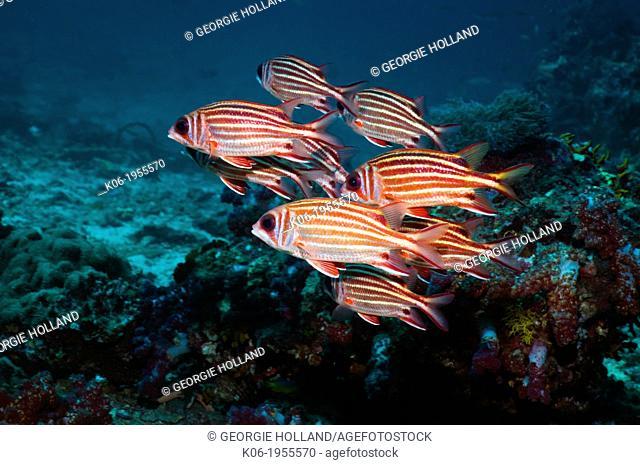 Threespot squirrelfish (Sargocentron cornutum). Andaman Sea, Thailand