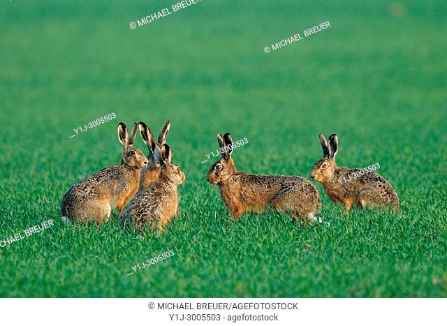 Group of European brown hares on a grain field in spring