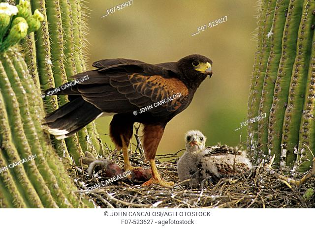 Harris' Hawk (Parabuteo unicinctus)-Arizona- On nest in saguaro cactus-group hunters-raptor-desert dwellers - with young