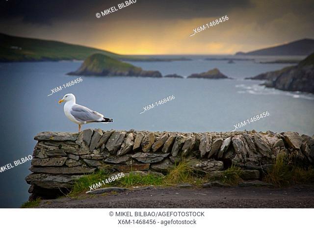 seagull in front of the Slea Head Slea Head Road  Dingle Peninsula  County Kerry, Ireland
