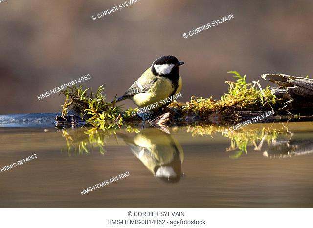 Spain, Catalonia, Lleida Province, Baen, Great Tit (Parus major) drinking and bathing