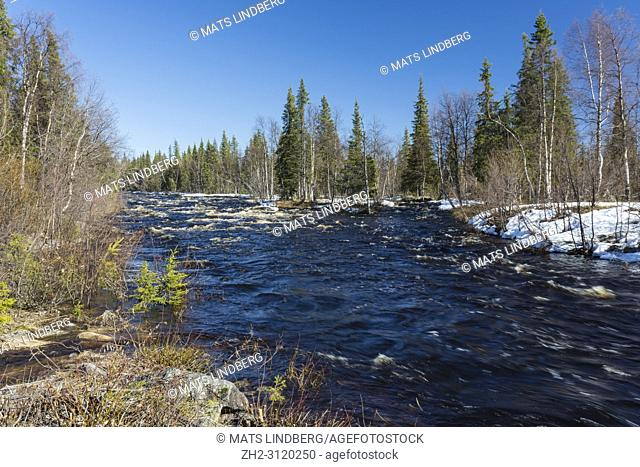 Landscape in springtime with snow in the forest and sun shining from a clear blue sky and high water in the river Gällivare county, Swedish Lapland, Sweden