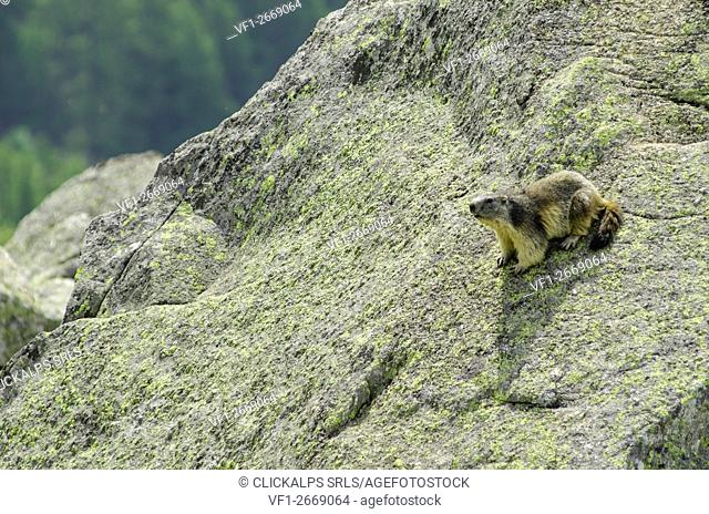 Marmot on a stone. (Orco Valley, Gran Paradiso National Park, Piedmont, Italy)