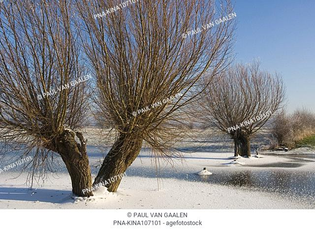 Willow, Pollard-willow Salix alba - IJsseluiterwaarden, The Netherlands, Holland, Europe