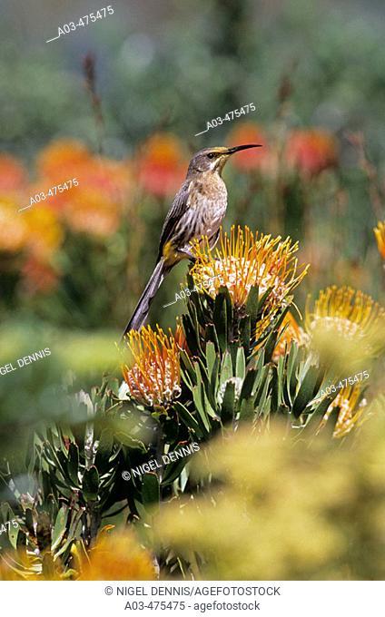 Cape Sugarbird, Promerops caffer, Feeding on pincushion protea, Helderberg Nature Reserve, Western Cape, South Africa