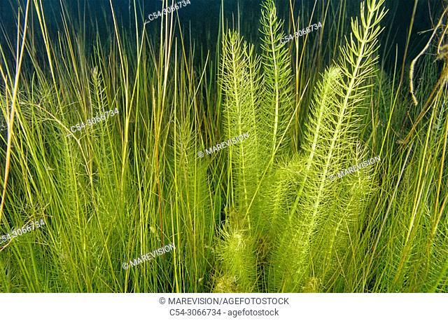 Freshwater plants. Hornwort (Ceratophyllum sp. ) Lagoon. Laguna de Rubillon. Sierra do Suido. Galicia. Spain. Europe