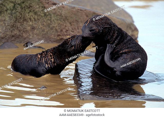 N. Fur Seal Pups frolicking in Tidal Pool (Callorhinus ursinus), St Paul Isl., Pribilofs, AK