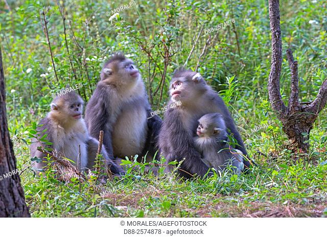 Asia, China, Yunnan province, Yunnan Snub-nosed Monkey Rhinopithecus bieti, mother and baby in a group