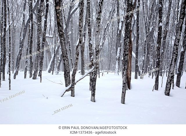 Swift River Railroad - Hardwood forest in the area of the old Passaconaway Settlement in Albany, New Hampshire USA during the winter months  This was an logging...