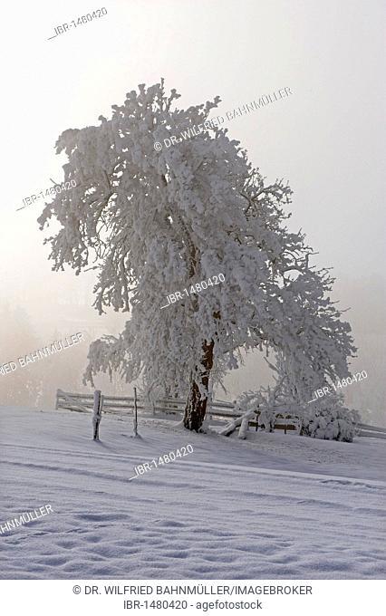 Trees, frost, Stadlberg near Miesbach, Upper Bavaria, Bavaria, Germany, Europe