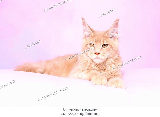 American Longhair, Maine Coon. Tomcat lying on a pink blanket. Germany. Studio picture seen against a pink background