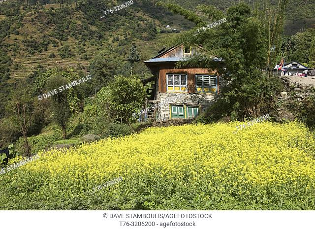 Field of mustard flowers on the trail to Everest Base Camp, Khumbu, Nepal