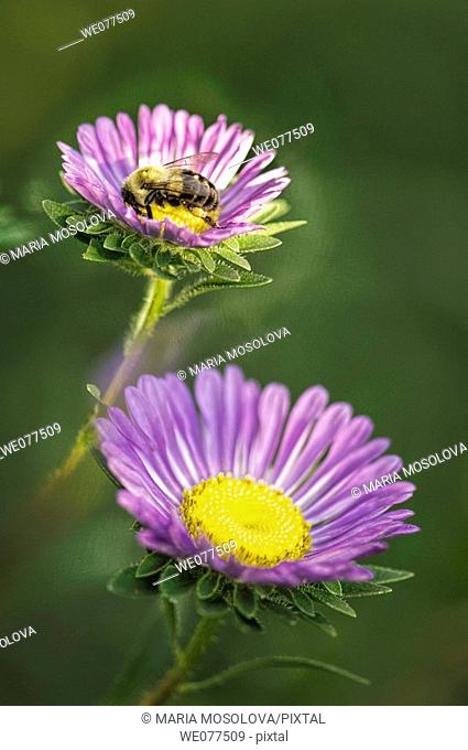 Bee on a Blue Aster Flower. Aster chinensis. August 2007, Maryland, USA