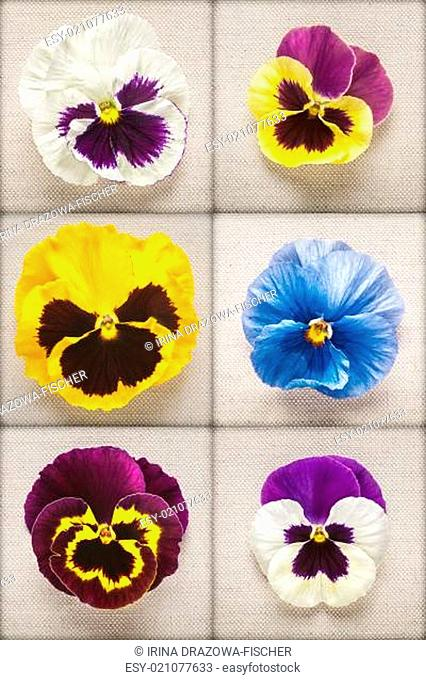 Pansy spring flower heads collection on linen fabric background. Mothers day concept