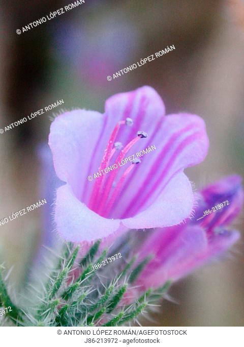 'Viborera' (Echium vulgare) flower
