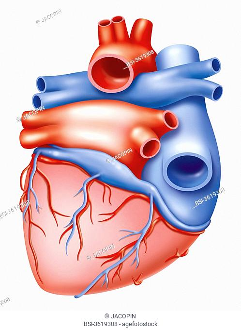 Vascularization of the heart - posterior view. Representation of a heart in posterior view and its circulation with the right coronary artery on the right of...