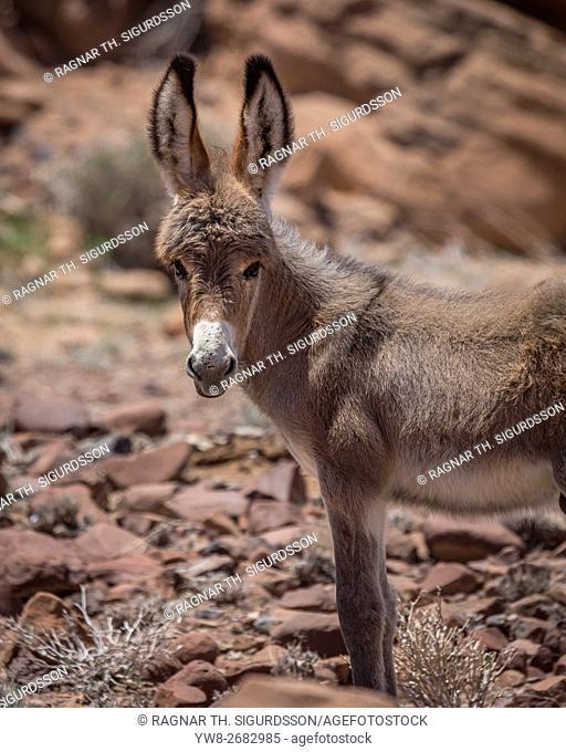 Donkey, Damaraland, Namibia, Africa