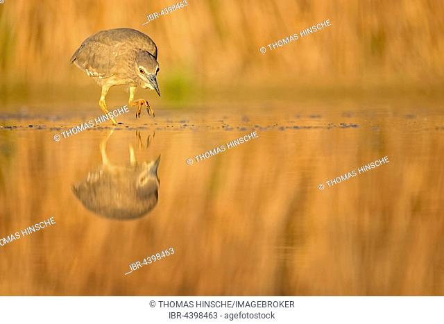 Night Heron (Nycticorax nycticorax) in the water, young bird, Kiskunság National Park, Hungary