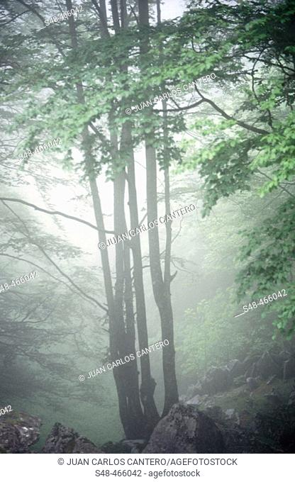 Beech. Gorbea National Park. Itxina. Vizcaya province. Spain