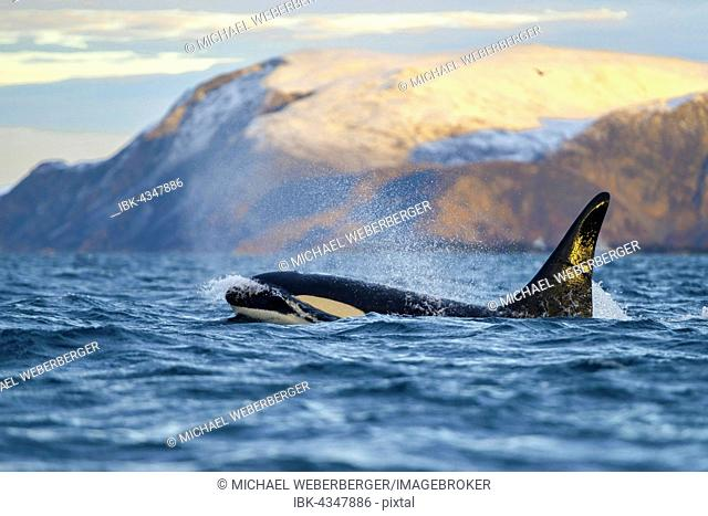 Orca (Orcinus orca) in front of snow-covered mountains, the North Atlantic, in Tromvik, Norway