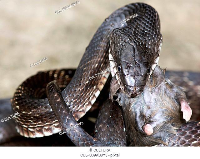 Black rat snake (Pantherophis obsoletus) eating a deer mouse, (Peromyscus)