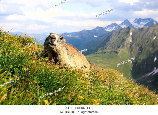 alpine marmot Marmota marmota, sitting in a mountain meadow in front of mountain panorama, Austria, Hohe Tauern National Park