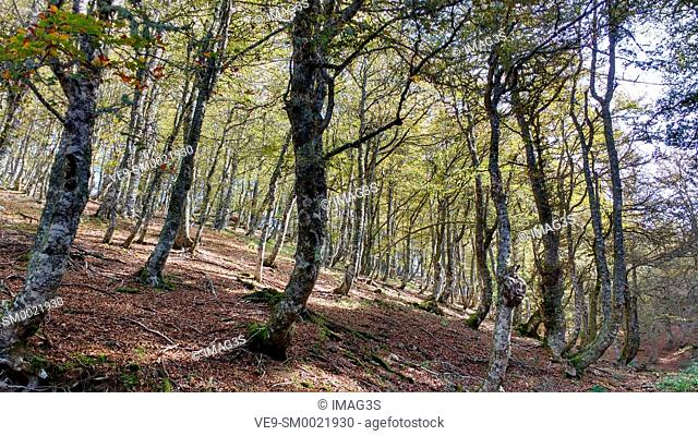 Beech Wood in the way from Soto de Sajambre to Vegabaño, Picos de Europa National Park and Biosphere Reserve, León province, Spain