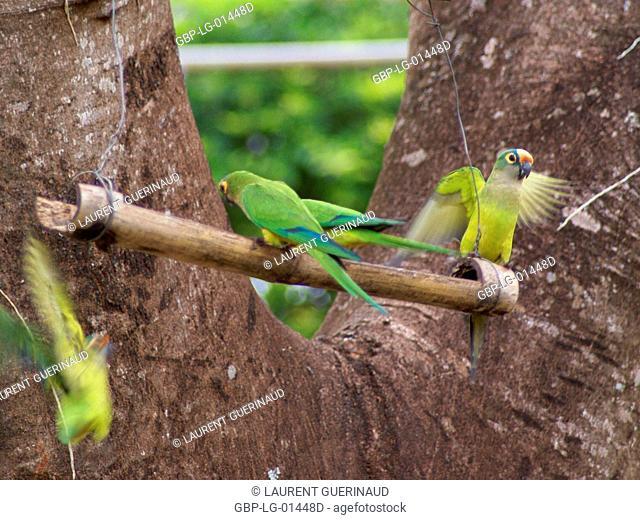 Ave, Parakeet, Cabeceira do Prata Farm, Rio da Prata, Bonito, Mato Grosso do Sul, Brazil