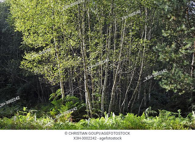 birch trees, Forest of Rambouillet, Haute Vallee de Chevreuse Regional Natural Park, Department of Yvelines, Ile de France Region, France, Europe
