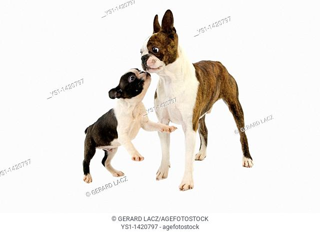 BOSTON TERRIER DOG, MALE WITH PUP AGAINST WHITE BACKGROUND
