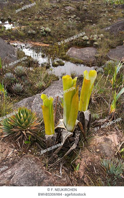 Brocchinia (Brocchinia reducta), together with Orectanthe sceptrum, Venezuela, Canaima National Park, Roraima Tepui