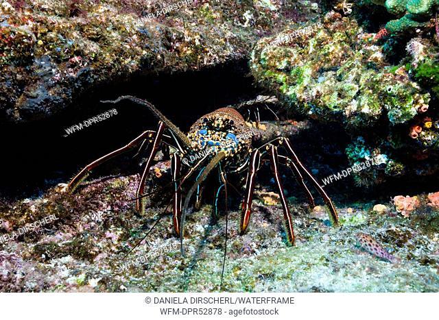 Lobster in Reef, Panulirus penicillatus, Cabo San Lucas, Baja California Sur, Mexico