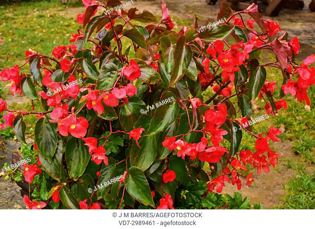 Begonia (Begonia semperflorens) is an ornamental plant