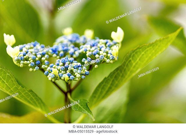 Garden Hydrangea macrophylla, hydrangea, close-up